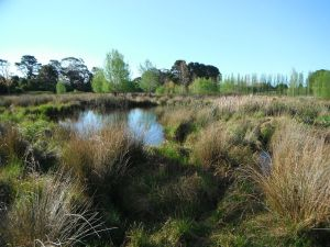 A wetland created in a rehydrated floodplain.